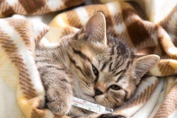 Підвищена температура у кошеняти при інфекції