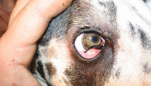 3 typy ochorenia tretích viečok u psov a liečby