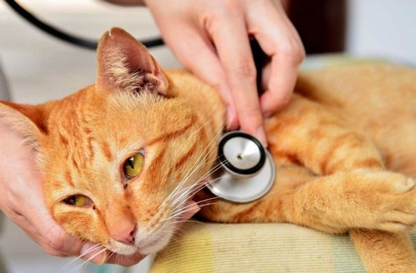 38 небезпечних хвороб кішок - лікування і симптоми
