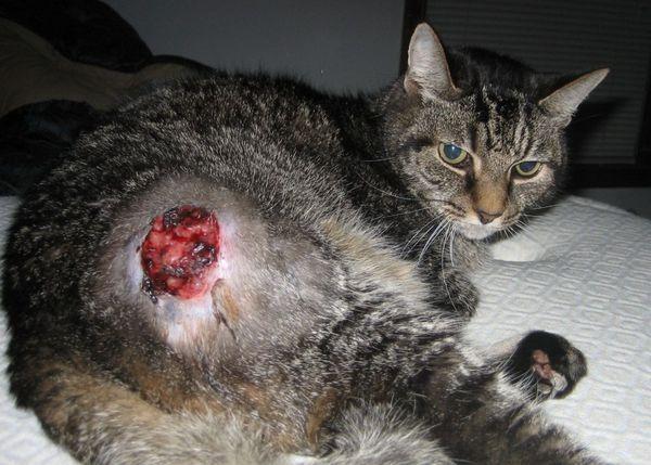 Онкологічні захворювання зустрічаються чи не у кожної п`ятої кішки