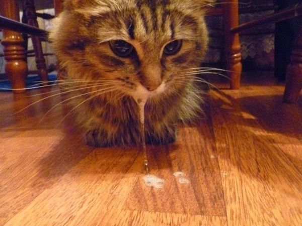 У кішки рясне слиновиділення