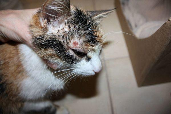Захворіти грибковими захворюваннями кішка може після будь-якого контакту зі спорами грибка - через рану, разом з їжею, при вдиху
