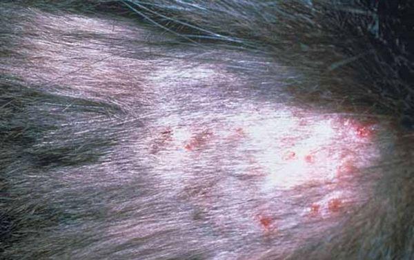 Більшість хвороб кішок пов`язаних зі шкірою і шерстю викликають паразити