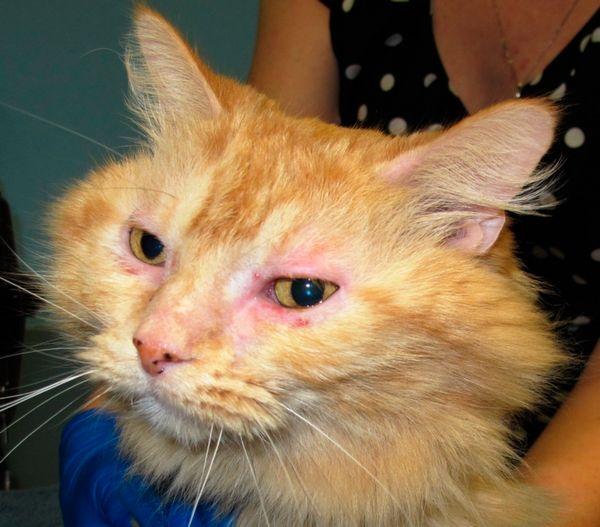 Кон`юнктивіт у кішок - досить поширене захворювання очей