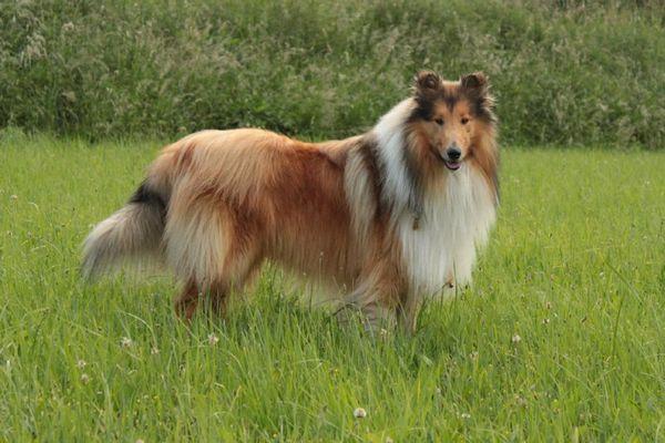 Коллі (шотландська вівчарка)