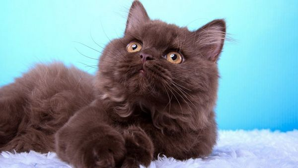 Mačky s vírusovými ochoreniami, s bakteriálnymi alebo plesňovými infekciami, imunomodulačné lieky sú predpisované s opatrnosťou