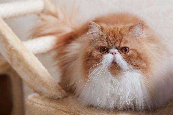 Zvieratá pôvodu sú náchylné na ochorenie obličiek
