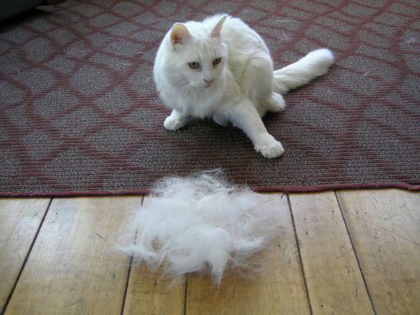 Najlepšie 4 príčiny vypadávania vlasov u mačiek okrem sezónneho vypadávania