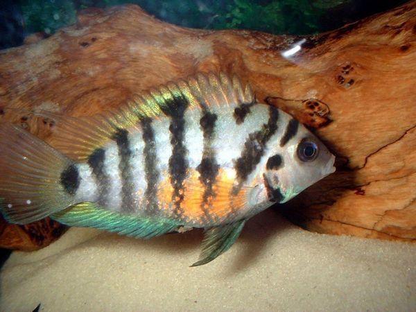 Пара чернополосая ціхлазом в акваріумі