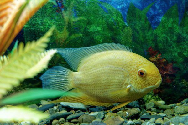 Нерест ціхлазоми северум в акваріумі