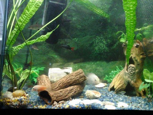 Ціхлазом Фламінго в акваріумі з іншими рибками