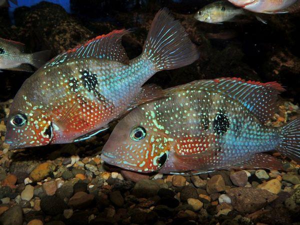 Пара ціхлазом Еліота в акваріумі