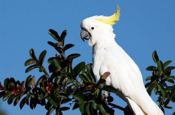 Білий папуга Какаду