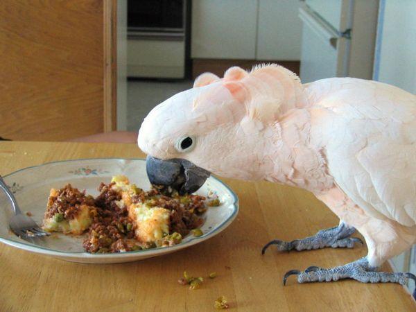 Папуга любить поїсти, і в цьому випадку його краще перегодувати, ніж недогодувати
