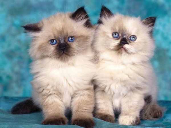 Кішки з плескатої мордою