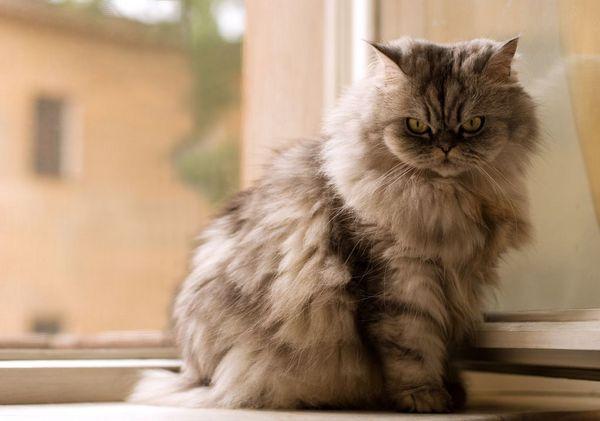 Миття надає шерсті блиск, що важливо для кішок, які виступають на виставках