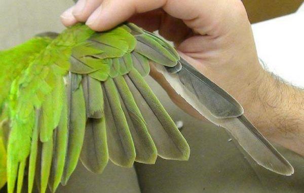 4 dôvody, prečo papagáj kvapká perie a tipy, čo robiť