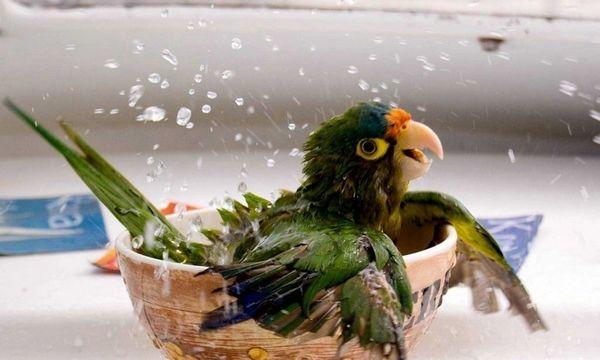 Existuje niekoľko dôvodov vysvetľujúcich stratu peria u papagájov a ich následnú plešatosť