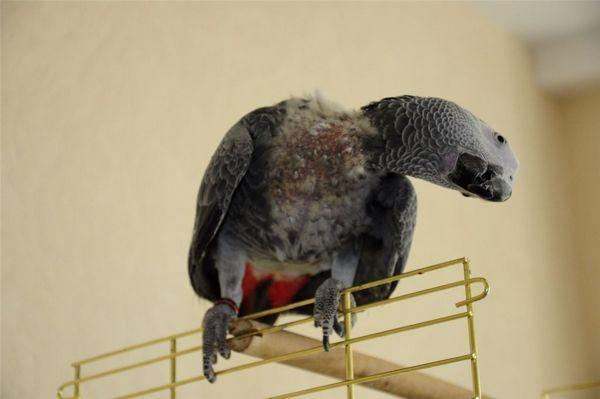 Strata peria v papagájovej šedej
