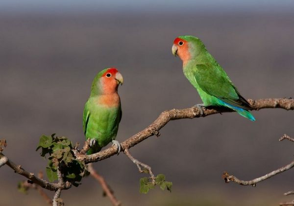 Často tie vtáky, ktoré žijú v zajatí bez páru, kvôli prebytku hormónov v tele vytiahnu aj svoje perie
