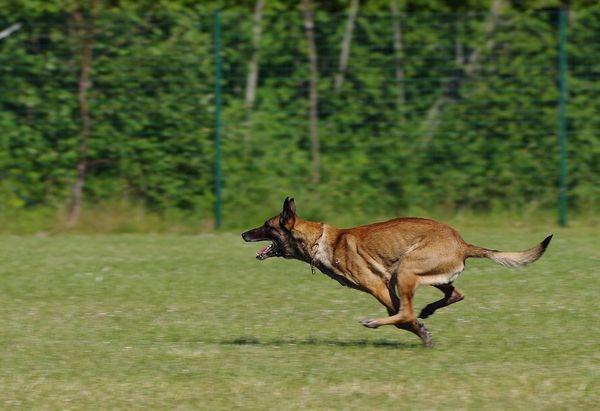 Бельгійська вівчарка - активна і кмітлива собака