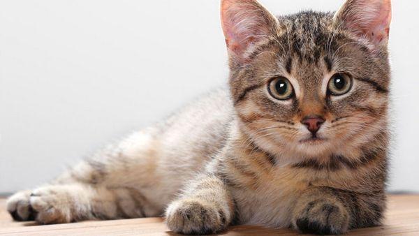 Вперше тічка у кішки настає у віці від 7 до 9 місяців