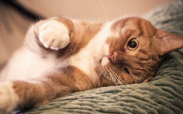Введення препарату припиняє розвиток тічки у кішки і знімає всі її негативні прояви