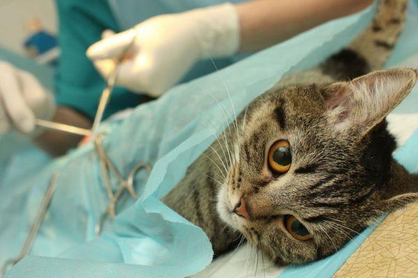 Ветеринари вважають - найоптимальніший вік для стерилізації котів - 6 місяців