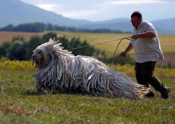 Угорська вівчарка комондор
