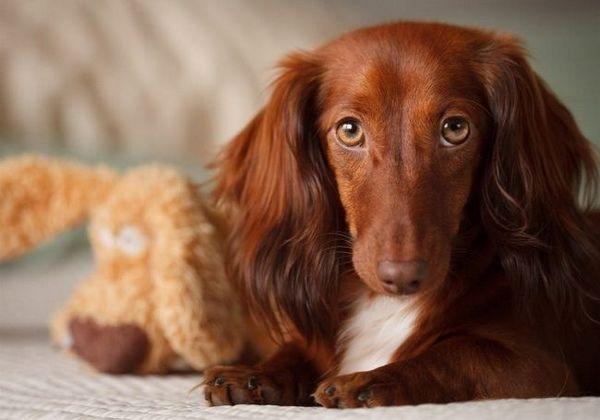 43 Plemien skladacích psov s fotografiami, menami a popisom