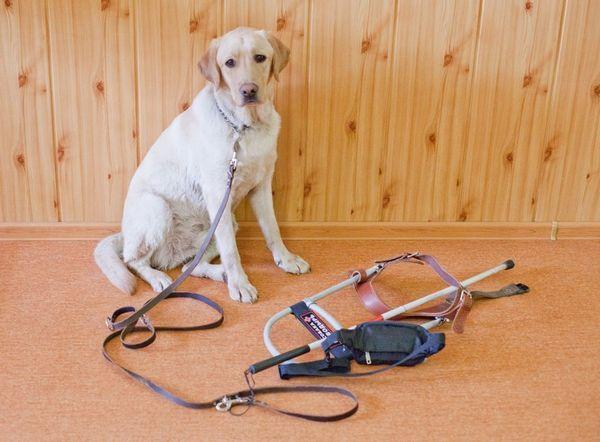Собаки-поводирі повинні володіти відмінним здоров`ям