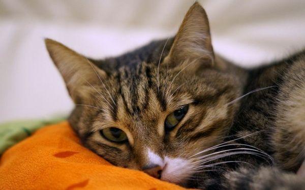 5 populárnych kvapiek a ľudových receptov na ušné roztoče pre mačky