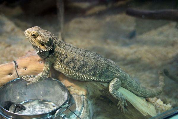 5 популярних видів домашніх ящірок з фото і описом