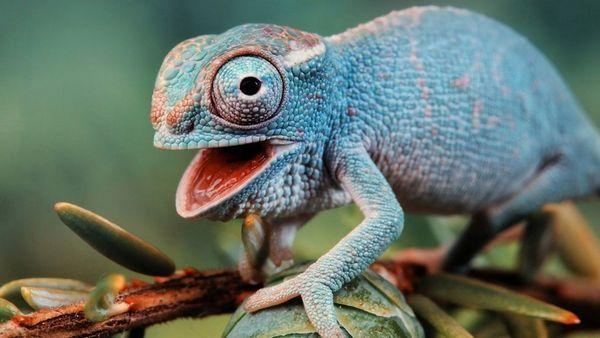 Хамелеон - ящірка, яка здатна міняти забарвлення тулуба