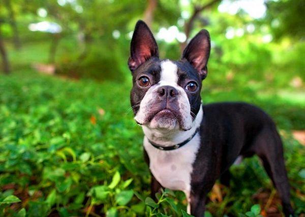 5 Plemien psov, ktoré nevyžadujú dlhé prechádzky a milujú aj rušných ľudí
