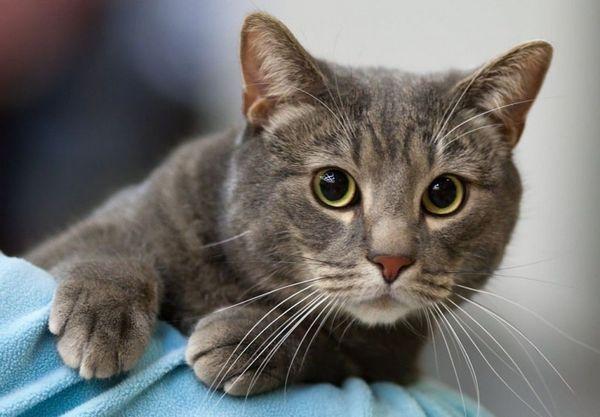 5 dôvodov, prečo mačku svrbia boľavé miesta na krku a olizuje sa, ale nemá blchy