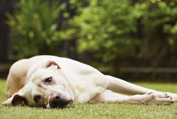 5 причин, чому собака тремтить і труситься