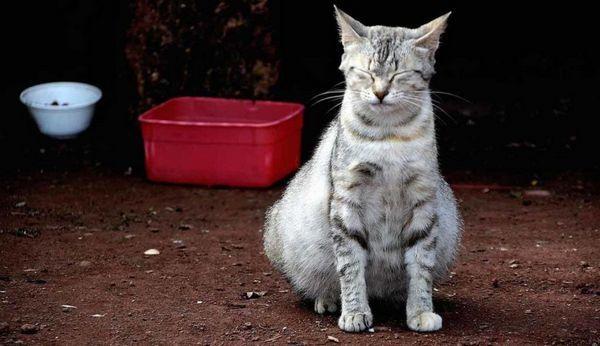 чому у кота роздутий живіт