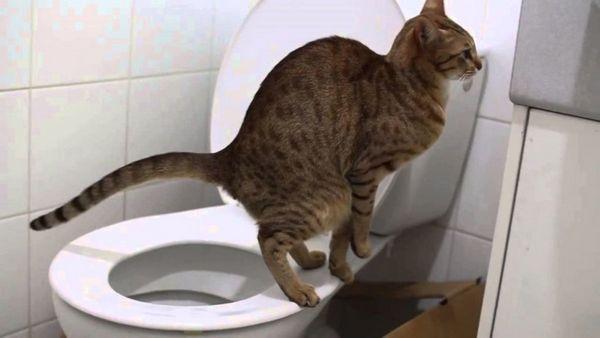 Запор може бути причиною здуття живота у кішки