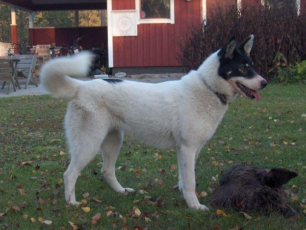 5 різновидів породи собак лайка і їх характеристики