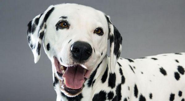 Далматинець дуже доброзичливий собака