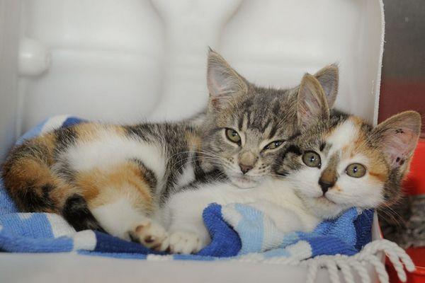 Párenie mačiek