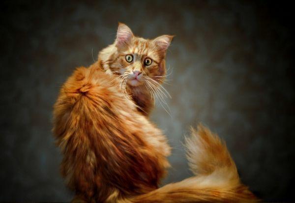 5 Dobrých dôvodov na kastráciu mačky, aj keď ste proti operácii