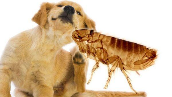 5 druhov ektoparazitov u psov - čo to je