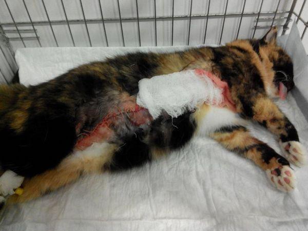 Рак молочних залоз лідирує серед усіх онкозахворювань у кішок