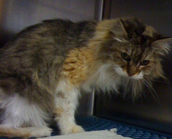 Саркома - найбільш агресивний вид раку у кішок