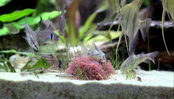 5 Видів живого корму для акваріумних рибок в домашніх умовах