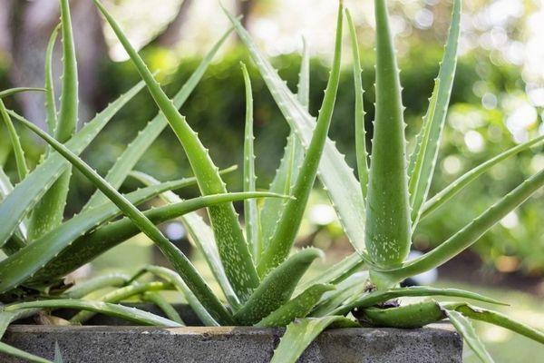 6 Domácich rastlín môže vaša mačka bolieť
