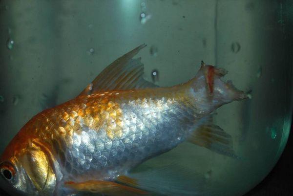 Якщо плавники зруйнувалися і гниль поширилася далі - вилікувати рибку неможливо