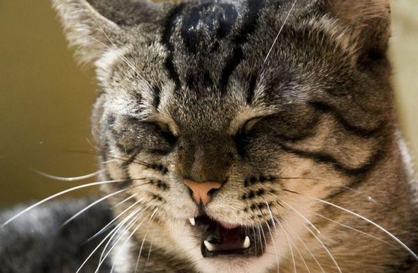 6 причин, чому кіт або кішка чхає і що робити